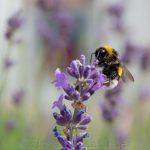 Biene auf Wildblume